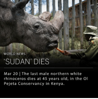 """The last male northern white rhinoceros died today after suffering a series of infections and health problems. The rhino, named """"Sudan,"""" passed at 45 years old in the Ol Pejeta Conservancy in Kenya. Only two northern white rhinos remain in existence, Sudan's daughter Najin and granddaughter Fatu. Both are currently living in conservancy. ___ In the 1960s there were approximately 2,000 northern white rhinos in existence, but by 2008 researchers could no longer locate northern white rhinos in the wild. The loss has been attributed to war, habitat destruction, and poaching for rhino horn. While northern white rhino sperm has been preserved, neither Najin nor Fatu have been able to carry a pregnancy to term. __ Photo: Dai Kurokawa 