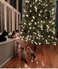 Cats, Christmas, and Reddit: world-of-cats:    Rare, never seen before photo capturing secret plot to overthrow Christmas tree.  ( Source)