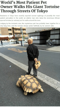 giant tortoise: World's Most Patient Pet  Owner Walks His Giant Tortoise  Through Streets Of Tokyo  Residents in Tokyo have recently reported several sightings of possibly the most  patient pet-walker in the world: an elderly man who takes his enormous African  spurred tortoise (or sulcata) out for walks around the town  Judging by the tortoise's size, the mysterious pair has probably been together for a  very long time, and the tortoise always plods faithfully by its owner's side