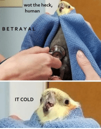 Cold, Wot, and Human: wot the heck,  human  BETRAYAL  IT COLD pls no  crebit: Tatl & Tael the Tiels