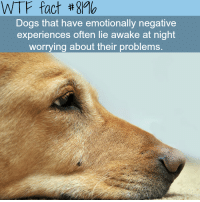 Dogs, Wtf, and Gmo: WTF fact #gMo  Dogs that have emotionally negative  experiences often lie awake at night  worrying about their problems