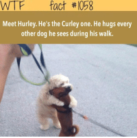 Memes, Wtf, and Taps: WTF fact th 008  Meet Hurley. He's the Curley one. He hugs every  other dog he sees during his walk. Double tap if this is cute 😍