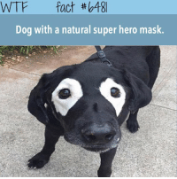 Memes, Wtf, and Heroes: WTF fact tho48  Dog with a natural super hero mask. Double tap ❤️ Dogpool