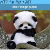 Double tap if this is cute! 😉: WTF fun fact #088  Rarest midget panda! Double tap if this is cute! 😉
