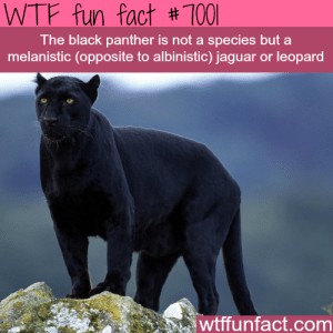 wtf-fun-factss:  The Black Panther - WTF fun facts : WTF fun fact # 1001  The black panther is not a species but a  melanistic (opposite to albinistic) jaguar or leopard  wtffunfact.com wtf-fun-factss:  The Black Panther - WTF fun facts