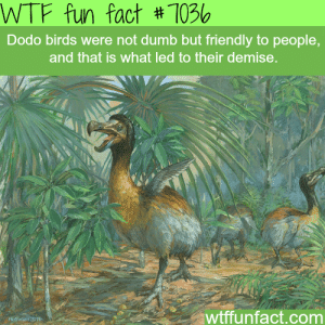 wtf-fun-factss:  Dodo bird - WTF fun facts   : WTF fun fact # 1036  Dodo birds were not dumb but friendly to people,  and that is what led to their demise.  wtffunfact.com  Fothuney 201e wtf-fun-factss:  Dodo bird - WTF fun facts