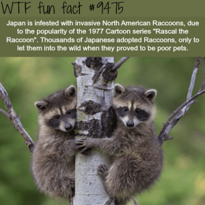 "Wtf, American, and Pets: WTF fun fact #1415  Japan is infested with invasive North American Raccoons, due  to the popularity of the 1977 Cartoon series ""Rascal the  Raccoon"". Thousands of Japanese adopted Raccoons, only to  let them into the wild when they proved to be poor pets."