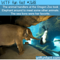 Wtffunfact: WTF fun fact #2088  The animal handlers at the Oregon Zoo took  Elephant around to meet some other animals.  The sea lions were her favorite.  wtffunfact.com