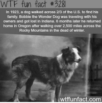 Wtffunfact: WTF fun fact #328  In 1923, a dog walked across 2/3 of the U.S. to find his  family. Bobbie the Wonder Dog was traveling with his  owners and got lost in Indiana. 6 months later he returned  home in Oregon after walking over 2,500 miles across the  Rocky Mountains in the dead of winter.  wtffunfact.com