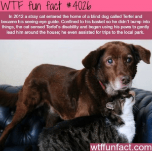 Wtf, Home, and House: WTF fun fact #4026  In 2012 a stray cat entered the home of a blind dog called Terfel and  became his seeing-eye guide. Confined to his basket so he didn't bump into  things, the cat sensed Terfel's disability and began using his paws to gently  lead him around the house; he even assisted for trips to the local park.  wtffunfact.com