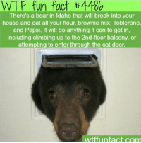 Imagine going to get a midnight snack and you turn on your light and see a fucking bear eating your brownie mix ~Matt: WTF fun fact #4486  There's a bear in Idaho that will break into your  house and eat all your flour, brownie mix, Toblerone  and Pepsi. It will do anything it can to get in,  and Pepsi it il do anything it can to get in  including climbing up to the 2nd-floor balcony, or  attempting to enter through the cat door  wtffunfact com Imagine going to get a midnight snack and you turn on your light and see a fucking bear eating your brownie mix ~Matt