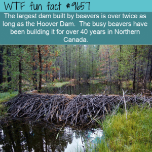 Wtf, Canada, and Been: WTF fun fact #57  The largest dam built by beavers is over twice as  long as the Hoover Dam. The busy beavers have  been building it for over 40 years in Northern  Canada.