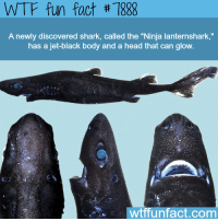 """Head, Wtf, and Shark: WTF fun fact #7888  A newly discovered shark, called the """"Ninja lanternshark,""""  has a jet-black body and a head that can glow.  wtffunfact.com"""