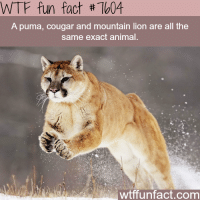 cougar: WTF fun fact #7W4  A puma, cougar and mountain lion are all the  same exact animal.  wtffunfact.com