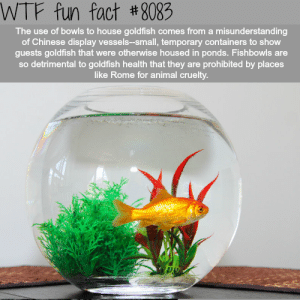 flashiefins:  optometrictzedek:  wtf-fun-factss: Why you shouldn't put goldfish in a bowl - WTF fun facts   By the way, bettas are the same. It's a myth that they live  in puddles. Wild bettas live in rice patties that look like this:  And you know how males fight in captivity? Yeah see, in the wild, each male betta has a territory of roughly one square meter [X]. That's over 260 gallons of water per betta! Of course they'll fight in a tiny 1 gallon tank! (The myth about puddles exists because, in the dry season, a betta may get trapped in a puddle, and it is equipped to survive that, but only for a short period of time). Also, notice how much is growing in that water - bettas need a lot of places to hide in and rest on, not just a single bamboo shoot in  the center of a vase! They will get stressed and even more aggressive without the hides. Fish are animals just like your other pets. Do your research before buying and treat them appropriately. If you can't afford a proper betta or goldfish set up (at LEAST 5 gallons for a betta with a heater and hides, at LEAST 20 gallons for a goldfish with a strong filtering system and NO GRAVEL, and I recommend adding at least 10 gallons to those minimums for healthy and happy fish), don't get one. They are living things, not decor pieces. Here is more information on how to properly care for:Goldfish: 1 2 3 4  Bettas: 1 2 3    : WTF fun fact #8083  The use of bowls to house goldfish comes from a misunderstanding  of Chinese display vessels-small, temporary containers to show  guests goldfish that were otherwise housed in ponds. Fishbowls are  so detrimental to goldfish health that they are prohibited by places  like Rome for animal cruelty flashiefins:  optometrictzedek:  wtf-fun-factss: Why you shouldn't put goldfish in a bowl - WTF fun facts   By the way, bettas are the same. It's a myth that they live  in puddles. Wild bettas live in rice patties that look like this:  And you know how males fight in captivity? Yeah see, in the wild, each male betta has a territory of roughly one square meter [X]. That's over 260 gallons of water per betta! Of course they'll fight in a tiny 1 gallon tank! (The myth about puddles exists because, in the dry season, a betta may get trapped in a puddle, and it is equipped to survive that, but only for a short period of time). Also, notice how much is growing in that water - bettas need a lot of places to hide in and rest on, not just a single bamboo shoot in  the center of a vase! They will get stressed and even more aggressive without the hides. Fish are animals just like your other pets. Do your research before buying and treat them appropriately. If you can't afford a proper betta or goldfish set up (at LEAST 5 gallons for a betta with a heater and hides, at LEAST 20 gallons for a goldfish with a strong filtering system and NO GRAVEL, and I recommend adding at least 10 gallons to those minimums for healthy and happy fish), don't get one. They are living things, not decor pieces. Here is more information on how to properly care for:Goldfish: 1 2 3 4  Bettas: 1 2 3