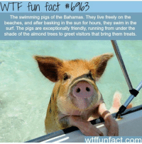 Never knew this was a thing lol: WTF fun fact th  The swimming pigs of the Bahamas. They live freely on the  beaches, and after basking in the sun for hours, they swim in the  Surf. The pigs are exceptionally friendly, running from under the  shade of the almond trees to greet visitors that bring them treats  Infact com  wtffun Never knew this was a thing lol