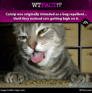 wtfacts:  Entertain your cat and live bug-free! WTFacts.net : WTFACT!?  Catnip was originally intended as a bug repellent...  Until they noticed cats getting high on it  LOL  Image Credit: imgur.com  WTFacts.net wtfacts:  Entertain your cat and live bug-free! WTFacts.net