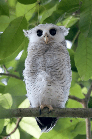 wtxch:Barred Eagle-owl : wtxch:Barred Eagle-owl