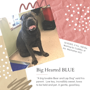 "Apparently, Beautiful, and Cats: ww  Id 65365, 3 Yrs., 150 lbs.  Waiting for Cuddles, at  the Manhattan ACC  Big Hearted BLUE  ""A big lovable Bear and Lap Dog"" said his  parent. Low key, incredibly sweet, loves  to be held and pet. A gentle, good boy. TO BE KILLED – 6/13/2019  Given up for ""no time"" a beautiful, big hearted, affectionate boy and his sister (Karma) are slated to die! ☹  ""A big lovable bear and lap dog,"" gushed Blue's parent, just before they walked out the door on him, citing ""NO TIME.""  A low energy sweetheart, all he wanted was to lay around, be held, pet, and adored by his parent.  He would follow this person around, just wanting to be near.  With his sister Karma, he was the submissive of the two, and would look to her for cues on how he should behave.  Blue loved his life, and he thought that it was secure, and that his parent would love him forever.  So it's incredibly hard for him at the shelter, and he has not been allowed to acclimate – he's been there only TWO days.  We are certain that if Blue was back in a family home, he would be his big mushy self, because that is the true spirit of this big gentle giant.  He asks only for love, he asks only for safety and commitment from the person he gives his heart too. He has a wonderful resume, too!  So please, if you are an experienced foster or adopter in an adult only home (no kids under age 13) message our page or email us at MustLoveDogsNYC@gmail.com for assistance fostering or adopting this big hearted, kind and loving boy.   BLUE, ID# 65365, 3 Yrs. Old, 150 lbs, Unaltered Male Manhattan ACC, Large Mixed Breed, Gray Owner Surrender Reason:  NO TIME  Shelter Assessment Rating:   New Hope Rescue Only Behavior Condition:     2.  Blue  I CAME TO THE SHELTER WITH MY SISTER KARMA (ALSO ON THE LIST):  https://www.facebook.com/mldsavingnycdogs/photos/a.745242932328646/1001625603357043/?type=3&theater  AT RISK NOTE:   Blue has shown concerning behavior both in the shelter environment and in his previous home, hard barking at handlers and lunging at strangers. We recommend placement with a New Hope Partner who can provide an experienced adult only foster home and necessary behavior modification. There are no medical concerns for Blue at this time.  INTAKE NOTE – DATE OF INTAKE, 6/9/2019:  Prior to intake, Blue was seen outside to be barking and lunging at passers by, mimicking his sister's behavior. Inside, he allowed a vet exam and seemed calm.  OWNER SURRENDER NOTES – BASIC INFORMATION:  Blue is an approximately 3 year old intact male large mixed breed dog who was brought to MACC with his sister Karma 65363 as an owner surrender.  He lived with 1 adult.  Blue responds differently to different strangers. He sometimes barks at people he doesn't know.  Has not spent much time with children. At first, would bark around children they see . After retraining with owner, does not bark around children.  Blue is described as just wanting to play with other dogs.  Blue has no experience with cats.  He does not guard his resources.  Blue has no known bite history.  He is partially housetrained and has a low energy level.   Other Notes: Blue gets walked twice a day, but sometimes has pee accidents in the home Not destructive of items in the home  Has this dog ever had any medical issues?: Yes, Ear infection in both ears.  For a New Family to Know: Blue is described as a big lovable bear and a lap dog by owner. He is the less dominant out of him and his sister and he will follow suit in her actions and behavior. He enjoys laying down and loves being pet. He loves all toys given to him. Knows commands like jump, sit, touch down (lay down), gimme five Eats dry food. Likes all treats. Was given hot dogs by previous owner. Owner took to groomer and it went fine At home, follows owner around and wants to be close. Slept on floor or couch  SHELTER ASSESSMENT SUMMARIES - Date of assessment: 6/11/2019 Summary:: The previous owners report that Blue is uncomfortable around some strangers and will bark at them. At the care center, Blue was reported to hard bark at handlers when they attempted to leash him and remove him from his kennel. He also was reported to bark and lunge at strangers while on leash outside. Erring on the side of caution, we feel that Blue is not a safe candidate for a handling assessment at this time.   INTAKE BEHAVIOR - Date of intake:: 6/9/2019 Summary:: Barking and lunging at people outside, calm inside  MEDICAL BEHAVIOR - Date of initial:: 6/9/2019 Summary:: Calm  ENERGY LEVEL:: Blue is described as having a low level of energy.   BEHAVIOR DETERMINATION:: New Hope Only Behavior Asilomar: TM - Treatable-Manageable  Recommendations:: No children (under 13),Place with a New Hope partner  Recommendations comments:: No children: The previous owners report that Blue barks at some strangers and used to bark at children. At the care center, he was seen barking and lunging at strangers while on leash and hard barked at handlers when they attempted to remove him from his kennel. Out of an abundance of caution, we recommend an adult-only home for Blue. Place with a New Hope partner: Due to all noted concerns displayed in a home and shelter environment, including barking and lunging at strangers, and hard barking at handlers when they attempt to remove him from his kennel, the behavior department recommends Blue be placed with a New Hope placement partner who is able to provide an experienced adult-only foster home who can provide any necessary behavior modification (force-free, positive reinforcement-based) and re-evaluate behavior in a stable home environment before placement into a permanent home.   Potential challenges: : House soiling,Fearful/potential for defensive aggression  Potential challenges comments:: House soiling: The previous owners report that Blue is only partially housetrained and may have accidents in the home. Please see handout on House soiling. Fearful/potential for defensive aggression: Blue is reported to bark at some strangers, bark at children at times, and hard bark at handlers when they attempted to remove him from his kennel. This suggests that his is uncomfortable around some strangers and with handling, displaying a potential for defensive aggression. Please see handout on Fearful/potential for defensive aggression.  MEDICAL EXAM NOTES  9/06/2019 [DVM Intake] DVM Intake Exam Estimated age: 3 years Microchip noted on Intake? 985112010297001 Microchip Number (If Applicable): History : Owner surrender. History of ear infections. Has been being treated with topical ear medication for the past month. UTD on vaccines. Came in with Karma #65363. Subjective: BAR Observed Behavior -Owner surrender. O brought him in intake room. He remained calm throughout exam but did seem slightly timid. No growling, lunging, biting, etc. Evidence of Cruelty seen -No Evidence of Trauma seen -No Objective T = P =90 bpm R =eup BCS 5/9 EENT: Slightly droopy lower lids OU but otherwise eyes clear, ears clean, no evidence f infection today, no nasal or ocular discharge noted Oral Exam: 1/4 tartar PLN: No enlargements noted H/L: NSR, NMA, CRT < 2, Lungs clear, eupnic, no c/s ABD: Non painful, no masses palpated U/G: M/I MSI: Ambulatory x 4, skin free of parasites, no masses noted, healthy hair coat CNS: Mentation appropriate - no signs of neurologic abnormalities Rectal: Clean externally Assessment: -Apparently healthy -Hx of ear infections, none noted today Prognosis: Good Plan: -No tx needed at this time -Heartworm test at time of neuter SURGERY: Okay for surgery   *** TO FOSTER OR ADOPT ***  BLUE IS RESCUE ONLY. You must fill out applications with New Hope Rescues to foster or adopt him. He cannot be reserved online at the ACC ARL, nor can he be direct adopted at the shelter. PLEASE HURRY AND MESSAGE OUR PAGE FOR ASSISTANCE!  HOW TO RESERVE A ""TO BE KILLED"" DOG ONLINE (only for those who can get to the shelter IN PERSON to complete the adoption process, and only for the dogs on the list NOT marked New Hope Rescue Only). Follow our Step by Step directions below!   *PLEASE NOTE – YOU MUST USE A PC OR TABLET – PHONE RESERVES WILL NOT WORK! **   STEP 1: CLICK ON THIS RESERVE LINK: https://newhope.shelterbuddy.com/Animal/List  Step 2: Go to the red menu button on the top right corner, click register and fill in your info.   Step 3: Go to your email and verify account  \ Step 4: Go back to the website, click the menu button and view available dogs   Step 5: Scroll to the animal you are interested and click reserve   STEP 6 ( MOST IMPORTANT STEP ): GO TO THE MENU AGAIN AND VIEW YOUR CART. THE ANIMAL SHOULD NOW BE IN YOUR CART!  Step 7: Fill in your credit card info and complete transaction   HOW TO FOSTER OR ADOPT IF YOU *CANNOT* GET TO THE SHELTER IN PERSON, OR IF THE DOG IS NEW HOPE RESCUE ONLY!   You must live within 3 – 4 hours of NY, NJ, PA, CT, RI, DE, MD, MA, NH, VT, ME or Norther VA.   Please PM our page for assistance. You will need to fill out applications with a New Hope Rescue Partner to foster or adopt a dog on the To Be Killed list, including those labelled Rescue Only. Hurry please, time is short, and the Rescues need time to process the applications.  Shelter contact information Phone number (212) 788-4000  Email adoption@nycacc.org  Shelter Addresses: Brooklyn Shelter: 2336 Linden Boulevard Brooklyn, NY 11208 Manhattan Shelter: 326 East 110 St. New York, NY 10029 Staten Island Shelter: 3139 Veterans Road West Staten Island, NY 10309    *** NEW NYC ACC RATING SYSTEM ***  Level 1 Dogs with Level 1 determinations are suitable for the majority of homes. These dogs are not displaying concerning behaviors in shelter, and the owner surrender profile (where available) is positive.   Level 2  Dogs with Level 2 determinations will be suitable for adopters with some previous dog experience. They will have displayed behavior in the shelter (or have owner reported behavior) that requires some training, or is simply not suitable for an adopter with minimal experience.    Level 3 Dogs with Level 3 determinations will need to go to homes with experienced adopters, and the ACC strongly suggest that the adopter have prior experience with the challenges described and/or an understanding of the challenge and how to manage it safely in a home environment."