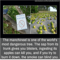 Appling: www.facebook.com/themedicalfactsdotcom  DO NOT TOUCH  The manchineel is one of the world's  most dangerous tree. The sap from its  trunk gives you blisters, ingesting its  apples can kill you, and if you try to  burn it down, the smoke can blind you.