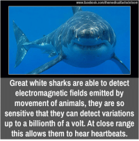 Memes, Shark, and Sharks: www.facebook.com/themedicalfactsdotcom  Great white sharks are able to detect  electromagnetic fields emitted by  movement of animals, they are so  sensitive that they can detect variations  up to a billionth of a Volt. At Close range  this allows them to hear heartbeats.