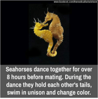 in unison: www.facebook.com/themedicalfactsdotcom  Seahorses dance together for over  8 hours before mating. During the  dance they hold each other's tails,  swim in unison and change color
