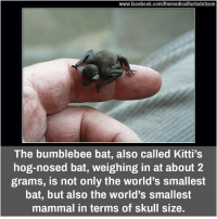 Memes, Skull, and 🤖: www.facebook.com/themedicalfactsdotcom  The bumblebee bat, also called Kitti's  hog-nosed bat, weighing in at about 2  grams, is not only the world's smallest  bat, but also the world's smallest  mammal in terms of skull size.