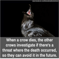 crow: www.facebook.com/themedicalfactsdotcom  When a crow dies, the other  crows investigate if there's a  threat where the death occurred  so they can avoid it in the future.