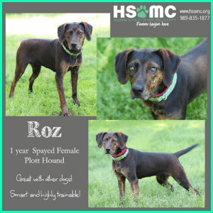 Dogs, Energy, and Love: www.hsomc.org  989-835-1877  HUMANE SOCIETY OF MIDLAND COUNTY  Forever begins here  year Spayed Female  Plott Hound  1  Great with other dogs!  Smart and highly trainalble! Roz is a stunning 1 year old Plott Hound who was transferred from Clare county. She's a young dog with loads of energy and the drive to learn!   She would love an active and fun home and should do great with other dogs! All dogs are spayed/neutered, vaccinated, heartworm tested, and microchipped prior to adoption. Adoption Fee: $175 Apply: https://bit.ly/2WxG2P5 Sponsor: https://bit.ly/2LwzDCR Photo Credit: Deb Lambesis