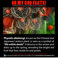 """Facebook, Facts, and God: www.om g facts online.com I fb.com/orm g facts online I eoh my god facts  Physalis alkekengi, known as the Chinese and  Japanese Lantern plant, is seen as a symbol of  """"life within death"""". It blooms in the winter and  dries up in the spring, revealing the bright red  fruit that lives inside its arid petals.  F Join Facebook's Biggest Facts Library with 6 Million+ Fans  www.facebook.com/omgfactsonline"""