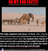 lion attack: www.omg facts online.com  I fb.com/omg facts online leo h my god facts  This baby elephant took down 14 lions. After straying  away from his mom, lions attacked the 1 year old elephant.  He outsmarted them when he realized their hatred of  water and ran into a watering hole tofight themoff He  was later reunited with his family and given the name  Hercules because of his courage and strength.  Join Facebook's Biggest Facts Library with 6 Million+ Fans-  www.facebook.com/omgfactsonline