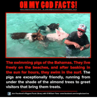 Memes, Bahamas, and They Live: www.omg facts online.com I fb.com/  online I a oh my god facts  Gmage source Jubilee Travel  The swimming pigs of the Bahamas. They live  freely on the beaches, and after basking in  the sun for hours, they swim in the surf The  pigs are exceptionally friendly, running from  under the shade of the almond trees to greet  visitors that bring them treats.  Join Facebook's Biggest Facts Library with 6 Million+ Fans- www.facebook.com/omgfactsonline