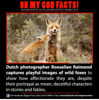 fables: www.omgfacts online.com I fb.com/om gfactsonline I eohmygod facts  sriana  umblr.com  Dmage Source  Dutch photographer Roeselien Raimond  captures playful images of wild foxes to  show how affectionate they are, despite  their portrayal as mean, deceitful characters  in stories and fables.  Join Facebook's Biggest Facts Library with 6 Million+ Fans- www.facebook.com/omgfactsonline