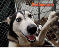 Tabasco is a young, sweet guy who is looking for a Foster or Forever Family!!  If you'd like more info on Tabasco and our Foster program, please visit our website www.TexasHuskyRescue.org  #FosteringSavesLives #SaveMoreHuskies: www. Tabasco is a young, sweet guy who is looking for a Foster or Forever Family!!  If you'd like more info on Tabasco and our Foster program, please visit our website www.TexasHuskyRescue.org  #FosteringSavesLives #SaveMoreHuskies