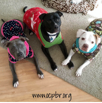 Memes, Puppies, and Bulls: www00pbrorg  WWW.0Cpbrora Nighty-night, friends!! Sleep tight! xo, Lana (pretty in pink) and OCPBR Alum, Gus (middle), and CGC, Bailey (right) AKA Pit Bull Pajama Party!  About Lana... Lana is a sweet and playful one-year old darling who loves everyone! Lana was rescued from a life living in an outdoor kennel, along with her brother, Levi, who has since been adopted. Now this gorgeous lady is looking for her happily ever after. Lana is smart and quickly learned all her basic commands in puppy class. She is an active girl who is full of personality and spunk! Her favorite things to do are playing with her foster brother, going for car rides, and snuggling with her canine and human buddies.   What is Lana's most adorable habit? She coos when she sleeps! If you're looking for a sweet snuggly girl Lana is that one for you! She has graduated from basic obedience training classes, is house trained, current on all vaccines, spayed and microchipped. If you would love to make this joyful girl a member of your family please contact us!   Fill out an adoption application here: http://www.ocpbr.org/adopt/adoption-application/ or email adopt@ocpbr.org for more information.  #pajamaparty #adoptabull #rescuedismyfavoritebreed