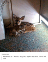 Dank, 🤖, and Forest: wwww-cute  After a forest fire These two snuggled up together in an office  Bobcat and  fawn