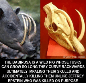 Some things in life kill you by accident. via /r/memes https://ift.tt/36c6J1c: wyup.that.exists  THE BABIRUSA IS A WILD PIG WHOSE TUSKS  CAN GROW SO LONG THEY CURVE BACKWARDS  ULTIMATELY IMPALING THEIR SKULLS AND  ACCIDENTALLY KILLING THEM UNLIKE JEFFREY  EPSTEIN WHO WAS KILLED ON PURPOSE Some things in life kill you by accident. via /r/memes https://ift.tt/36c6J1c