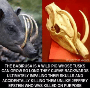laughoutloud-club:  Yup this is the title: wyup.that.exists  THE BABIRUSA IS A WILD PIG WHOSE TUSKS  CAN GROW SO LONG THEY CURVE BACKWARDS  ULTIMATELY IMPALING THEIR SKULLS AND  ACCIDENTALLY KILLING THEM UNLIKE JEFFREY  EPSTEIN WHO WAS KILLED ON PURPOSE laughoutloud-club:  Yup this is the title
