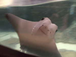 Love, Tumblr, and Blog: xbean:  ablogfortwolovers:  WHY DONT MORE PEOPLE LOVE STING RAYS LOOK AT THAT FACE  Because they ganged up on the crocodile hunter and shanked him in cold blood.