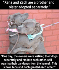 "Dogs, Family, and Doggo: ""Xena and Zach are a brother and  sister adopted separately.""  ""One day, the owners were walking their dogs  separately and ran into each other, still  wearing their bandanas from the kennel. This  is how Xena and Zach greeted each other."" <p>Doggo Family Reunion</p>"