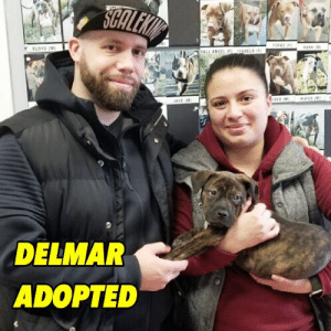 Life, Love, and Memes: Y FLOYD (M  ALL ANGEL  ACE IN  DELMAR  ADOPTED DELMAR ADOPTED 💛 Our bubbly brindle baby bounced right into the hearts of his happy pawrents!  This boy will enjoy endlessly romping, playing and most important, endless love!  HAPPY LIFE DELMAR! 💛  #bellenybc #delmarnybc #nybcpuppies #nybcalumni #nybcadopters #adoptdontshop