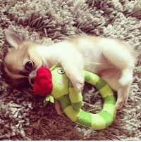 "Chihuahua, Memes, and 🤖: y  th ""Grrr, don't touch my toy!"" www.fampuschihuahua.com #chihuahua #chihuahuas #socute #famouschihuahua #spreadlove #chihuahuapuppy #longhairedchihuahua #adorablepuppy"