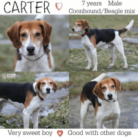 Memes, Humane Society, and Altered: years Male  7 CARTER  Coonhound Beagle mix  HUMANE  SOCIETY  Very sweet boy Good with other dogs All dogs/puppies in our shelter can be viewed here.  Any dog not being held as a stray is available for immediate, same-day adoption! Adoption applications are reviewed on site. Please share our dogs and help get them out of the shelter as quickly as possible!  **PLEASE NOTE**  Placing an application on a dog featured in this album does NOT hold the dog for you.  All available dogs are available to be met and adopted same day if already altered.  If not altered, the dog can be met and paid for in order to hold the dog for you.  Thank you for your understanding!