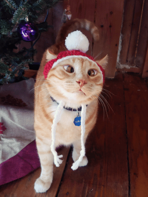 My buddy Yellow, again. Patiently modelling the Santa hat I knitted for him.: Yello My buddy Yellow, again. Patiently modelling the Santa hat I knitted for him.