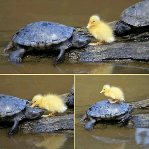 Yellow fluff rides a turtle uber: Yellow fluff rides a turtle uber