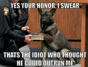 Police dog in court:: YES YOUR HONOR, I SWEAR  THATS THE IDIOT WHO THOUGHT  HE COULD OUTRUN ME Police dog in court: