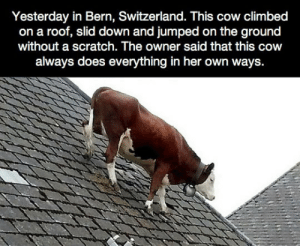 awesomesthesia:  This Cow Is Not Worried Anymore: Yesterday in Bern, Switzerland. This cow climbed  on a roof, slid down and jumped on the ground  without a scratch. The owner said that this cow  always does everything in her own ways. awesomesthesia:  This Cow Is Not Worried Anymore