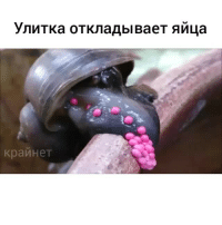 Memes, 🤖, and Unknown: ynuTKa OTKnaAbl BaeT AMLa  KpanHeT Улитка откладывает яйца (скорость х4) crynet By unknown