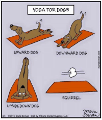 Memes, Squirrel, and Yoga: YOGA FOR DOGS  UPWARD DOG  DOWNWARD DOG  SQUIRREL  UPSIDEDOWN DOG  maria  Scrivan  8/4 2015 Maria Scrivan Dist. by Tribune Content Agency, LLC.