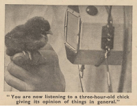 "England, Funny, and Parents: "" You are now listening to a three-hour-old chick  giving its opinion of things in general."" yesterdaysprint: mjsloveslave:  yesterdaysprint: Good Morning by the Daily Mirror, England, April 4, 1944 England was at WAR and managed to do this? Really?   Good Morning was actually a paper made by the Daily Mirror just for the men serving on submarines! They were made ahead of time by the Mirror staff and bundled up and numbered for each day, and then the four page paper would be given to the men serving on the submarines every evening.  They had human interest stories, comics, puzzles. Happy stuff. Sometimes the journalists would go visit servicemen's families and get a picture of their wives and kids or parents or pets, and that'd go in the paper too. Then each day there was usually, among other pictures on the back page, an attractive lady and also a funny animal picture. Here's a good article about it:   The sailors sat tensely waiting to die.  Their boat had been blasted by a depth charge, lost all power and sunk to the ocean floor. Knowing they probably had little time left, the men asked if they might read all the as-yet unseen copies of the daily submariners' paper currently locked in the safe.  The chief petty officers agreed – how could they not? – and ripped open package after package of editions of 'Good Morning', which the ship's company were soon devouring in the gloom.  Suddenly power was restored, the sailors were saved and the boat surfaced, albeit with her messes spilling over with tabloid newsprint.   Amongst the Royal Navy submariners, the paper's importance cannot be overplayed. ""The effect on crew morale was significant,"" said Royal Navy Submarine Museum archivist George Malcolmson, who has a complete bound set of every edition that rolled off the presses.""The Daily Mirror stepped in just when the service needed it most."
